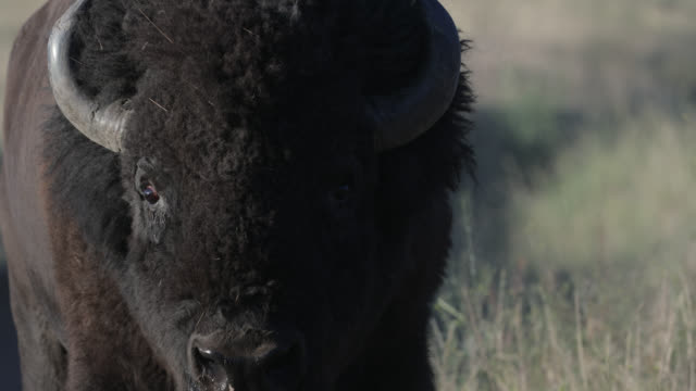 ts  4k  shot of a massive bull bison (bison bison) walking into the camera during the summer rut - horned stock videos & royalty-free footage