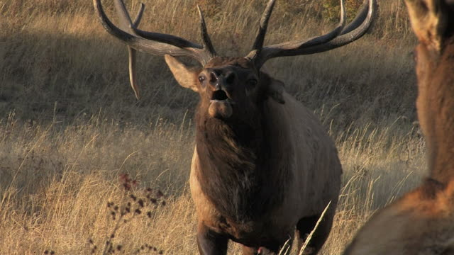 ts  shot of a massive bull elk (cervus canadensis) charging the camera - 枝角点の映像素材/bロール