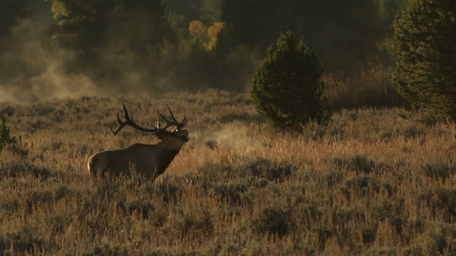 MS  shot of a massive bull elk (Cervus canadensis) walking through an open meadow, bugling, with the sunrise and the fog in the background