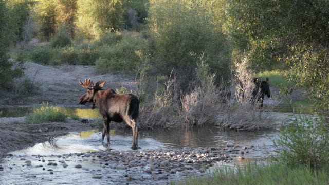 ms 4k shot of a massive bull moose and a cow (alces alces) exhibiting mating behavior - jackson hole stock-videos und b-roll-filmmaterial