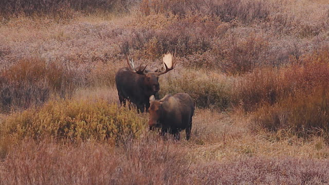 WS   shot of a massive bull moose (Alces alces) chasing after a cow in the fall foliage