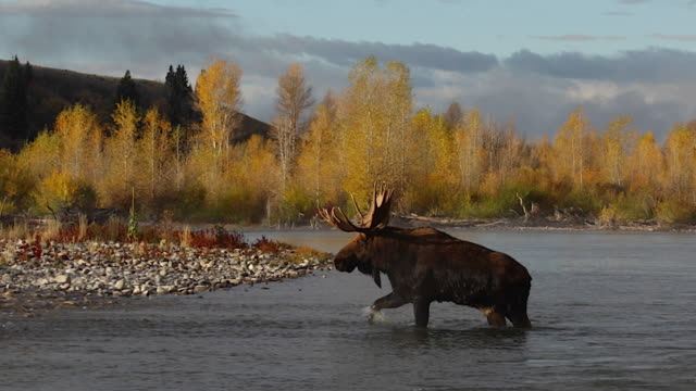 WS   shot of a massive bull moose (Alces alces) crossing a stream in the fall foliage