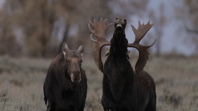 ms 4k shot of a massive bull moose  (alces alces) flehmen during the rut - herd stock videos & royalty-free footage