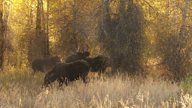 ws   shot of a massive bull moose (alces alces) in a cottonwood fall forest surrounded by cows at a pee pot during the fall rut - cottonwood tree stock videos and b-roll footage