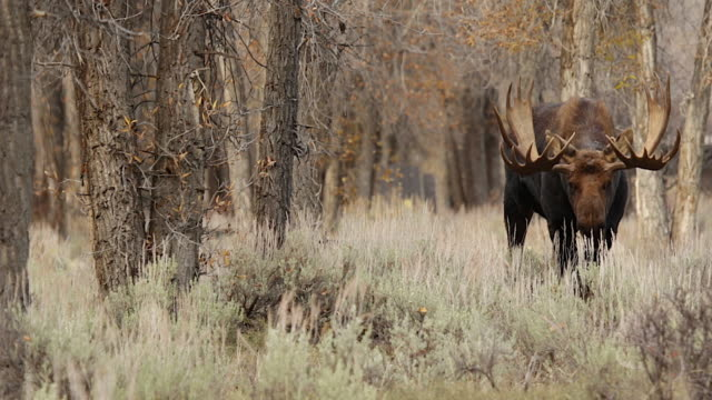 MS   shot of a massive bull moose (Alces alces) in a cottonwood forest during the fall rut. Walking into a remote low angle camera.