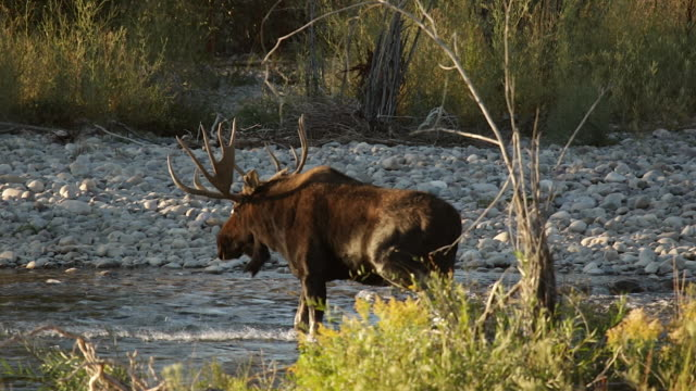 MS  shot of a massive bull moose (Alces alces) in the rut, crossing the Snake River at sunrise