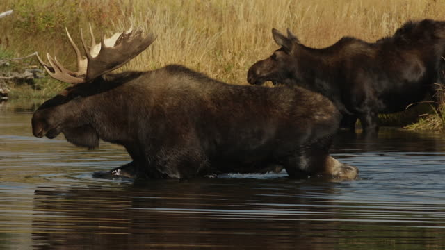 MS  shot of a massive bull moose (Alces alces) in the rut, drinking and shaking while crossing the Snake River