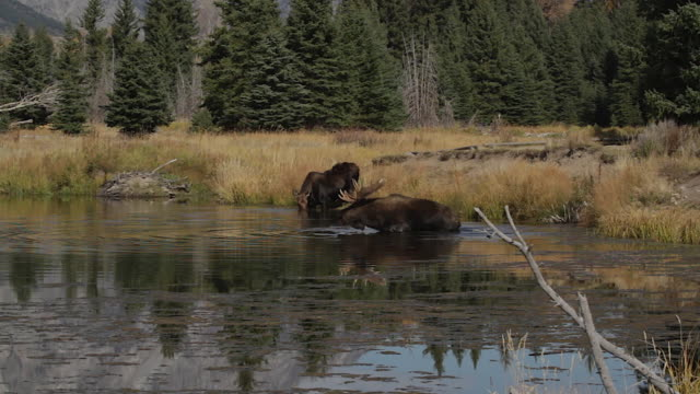 ws  shot of a massive bull moose (alces alces) in the rut, drinking and shaking while crossing the snake river - スネーク川点の映像素材/bロール