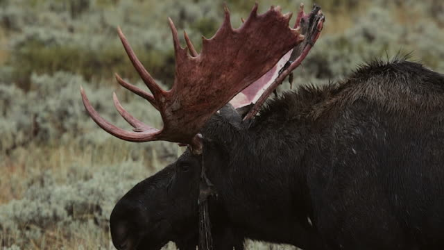 TS  shot of a massive bull moose (Alces alces) in the rut that is loosing the velvet on his antlers
