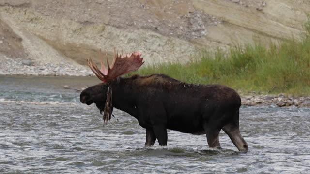 vídeos y material grabado en eventos de stock de ms  shot of a massive bull moose (alces alces) loosing velvet from his antlers as he walks across the snake river (slow motion) - río snake