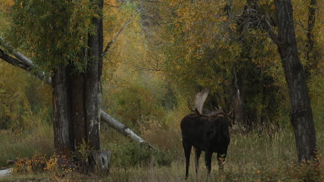 WS   shot of a massive bull moose (Alces alces) standing at sunset in a beautiful/colorful cottonwood forest