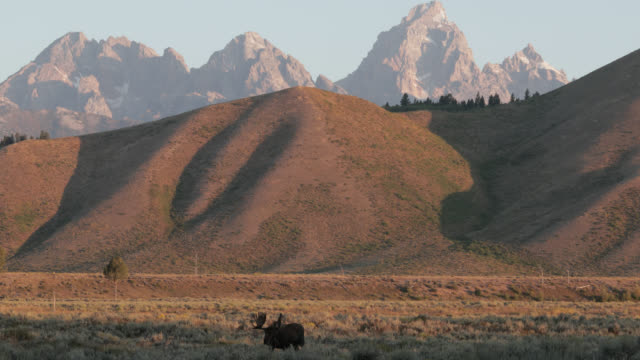 vidéos et rushes de ws 4k shot of a massive bull moose (alces alces) walking in the sagebrush with the tetons in the background - wyoming