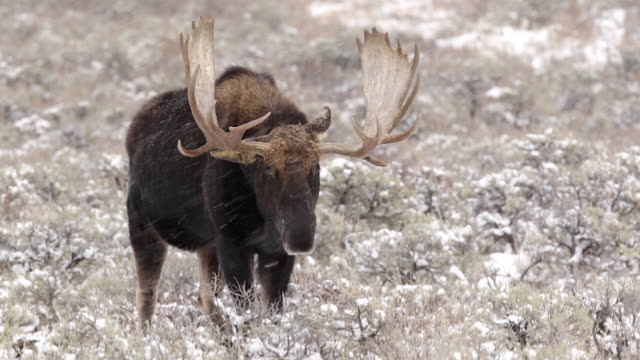 vidéos et rushes de ms/ts   shot of a massive bull moose (alces alces) walking into the camera at close range in a blizzard - caribou