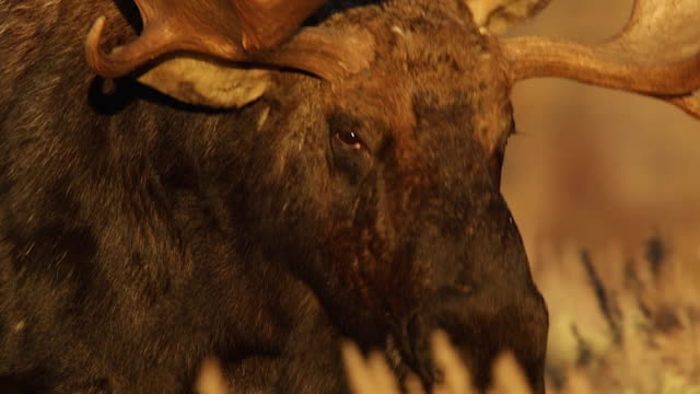 STS/SLOMO  shot of a massive bull moose (Alces alces) walking through the sagebrush at sunset