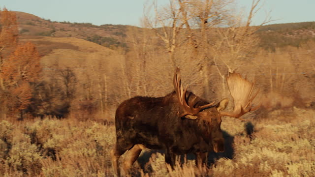 ms   shot of a massive bull moose (alces alces) walking through the sagebrush into the camera at sunset - セージブラッシュ点の映像素材/bロール
