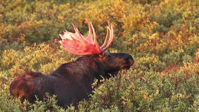 MS  shot of a massive bull moose (Alces alces) with bloody antlers grazing in the willows at sunrise
