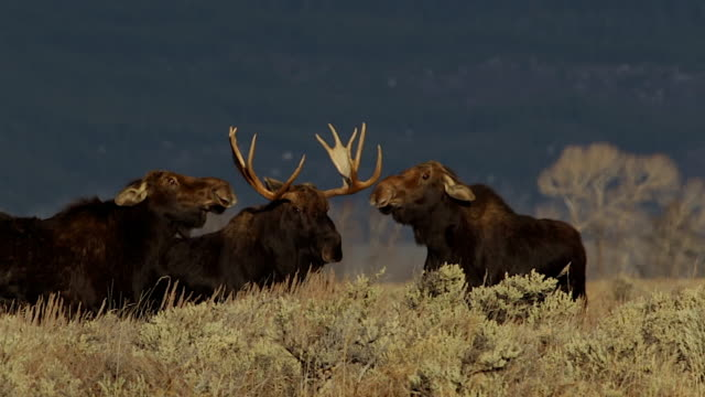 MS/SLOMO  shot of a massive bull moose (Alces alces) with two cow moose fighting over his attention (at sunrise)