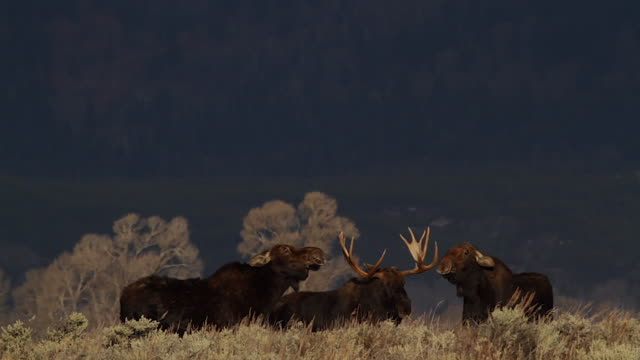 WS/SLOMO  shot of a massive bull moose (Alces alces) with two cow moose fighting over his attention (at sunrise)
