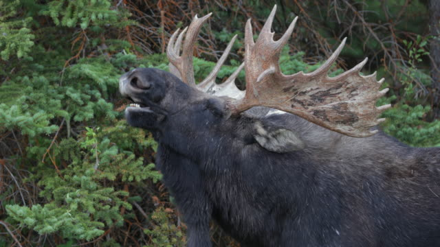 ts 4k shot of a massive droptine bull moose  (alces alces) flehmen - wyoming stock videos & royalty-free footage