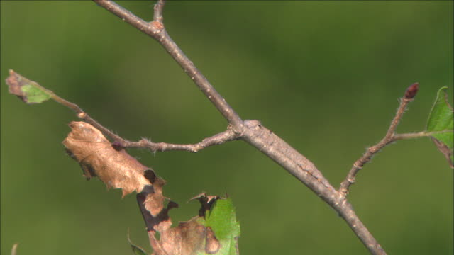 Shot of A Moth Caterpillar crawling with protecting coloration on branch