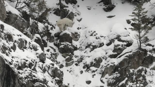 ws  4k shot of a mountain goat (oreamnos americanus) climbing on a snow covered cliff - ヤギ点の映像素材/bロール
