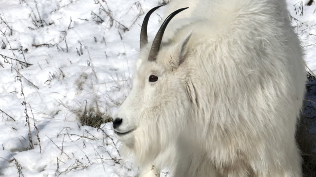 ts  4k shot of a mountain goat (oreamnos americanus) grazing on a snowy hillside - horned stock videos & royalty-free footage