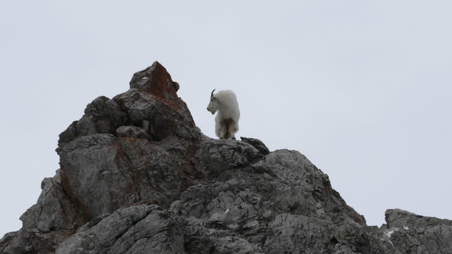 ws  4k shot of a mountain goat (oreamnos americanus) standing on a mountain peak - 立つ点の映像素材/bロール