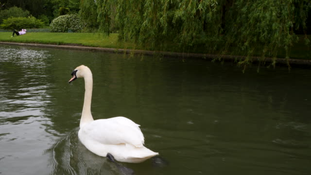 shot of a mute swan swimming along the river cam, cambridge. - trauerweide stock-videos und b-roll-filmmaterial