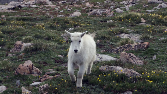 MS 4K shot of a newborn rocky mountain goat (Oreamnos americanus) playing and interacting on the high mountain tundra