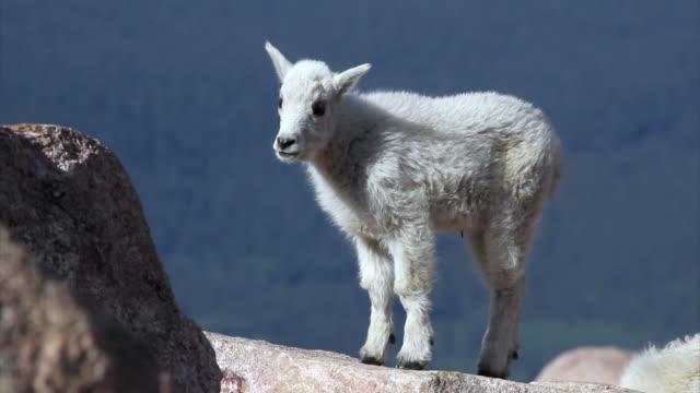 TS 4K shot of a newborn rocky mountain goat (Oreamnos americanus) playing on the mountain peak
