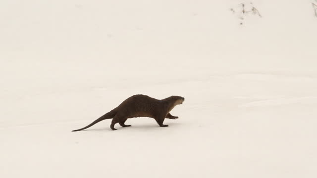 ms  shot of a north american river otter (lontra canadensis) running and sliding through the snow on the snake river - otter stock videos and b-roll footage