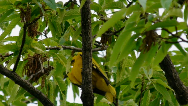 shot of a oriole perching on branch and flying - songbird stock videos & royalty-free footage