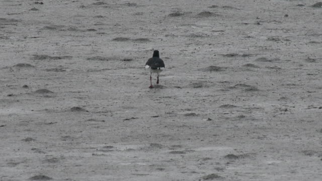 Shot of a oystercatcher flying up from mud flat
