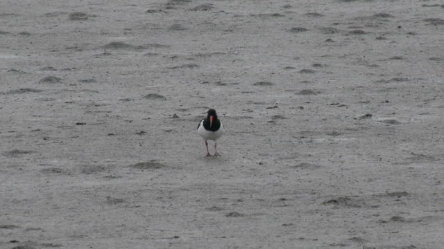 Shot of a oystercatcher searching prey at mud flat