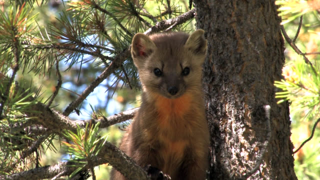 TS 4K shot of a pine martin (martes martes) in a tree