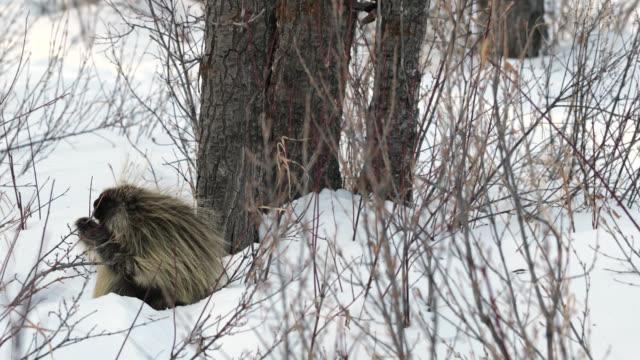 ms 4k shot of a porcupine (erethizon dorsatum) feeding on willow tips in the fresh deep snow - グランドティトン国立公園点の映像素材/bロール