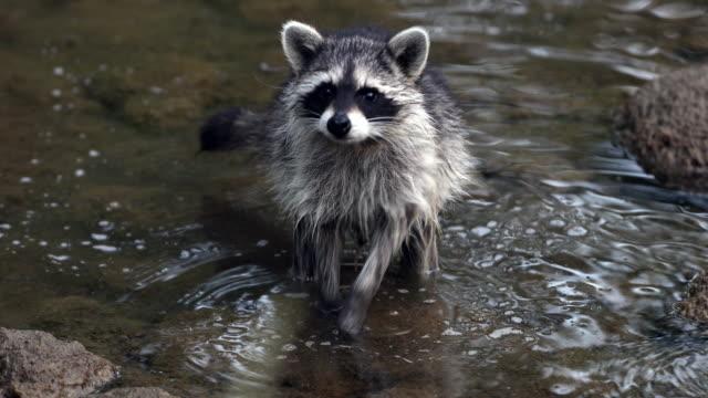 TS 4K shot of a raccoon (procyon lotor) feeding in a pond