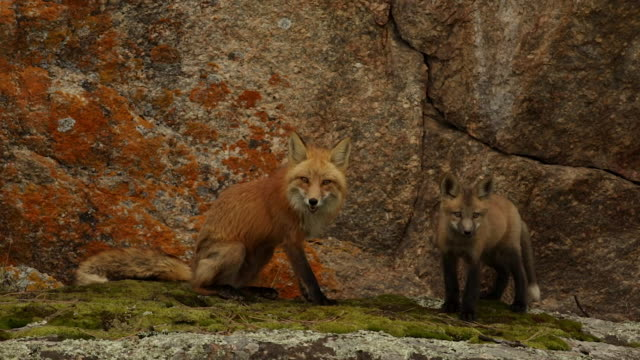 MS shot of a red fox (Vulpes vulpes) adult and kit playing on a colorful rock ledge at dusk
