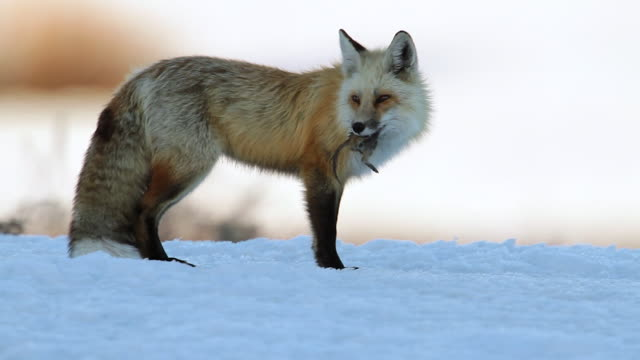 ms ts shot of a red fox (vulpes vulpes) eating a ground squirrel on fresh snow at sunset - dead stock videos & royalty-free footage