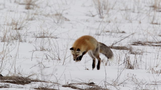 ms  shot of a red fox (vulpes vulpes) hunting/pouncing for ground squirrels in the snow at dusk - fox stock videos and b-roll footage