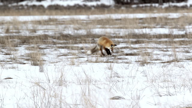 ws shot of a red fox (vulpes vulpes) pouncing / hunting in the snow - fox stock videos and b-roll footage