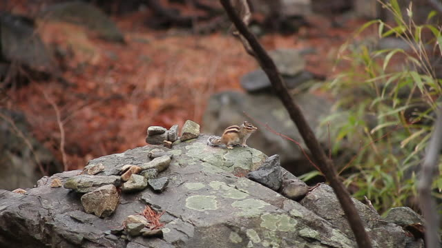 shot of a siberian chipmunk on the rock at bogyungsa temple - chipmunk stock videos & royalty-free footage