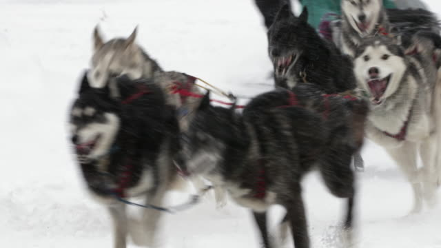 ts  4k shot of a sled dog team racing in a blizzard - sledge stock videos & royalty-free footage
