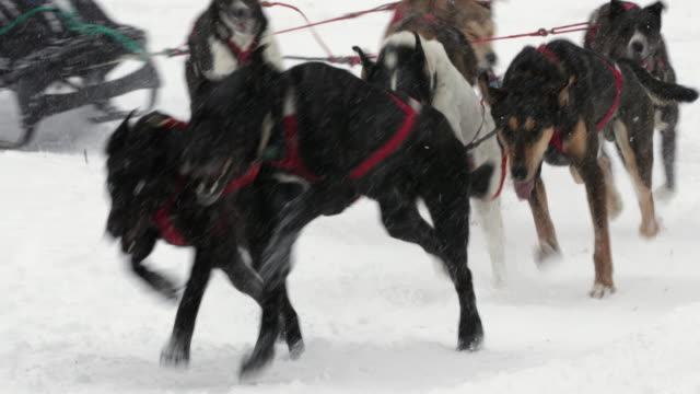 TS  4K shot of a sled dog team racing in a blizzard