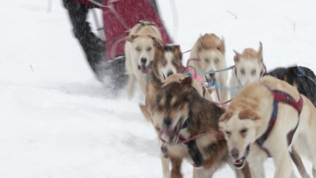 ts  4k shot of a sled dog team racing in a blizzard - jackson hole stock-videos und b-roll-filmmaterial