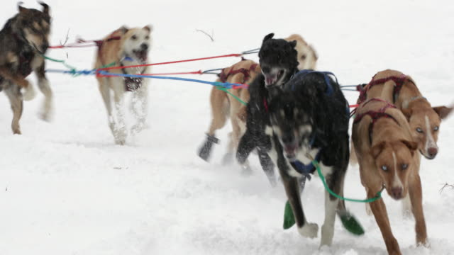 ts  4k shot of a sled dog team racing in a blizzard - そり犬点の映像素材/bロール