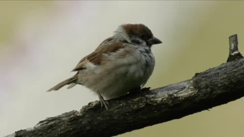 shot of a sparrow perching on branch - スズメ点の映像素材/bロール