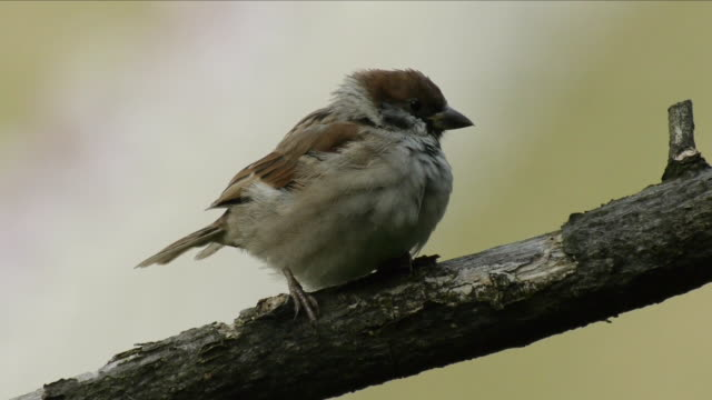 shot of a sparrow perching on branch - sparrow stock videos & royalty-free footage