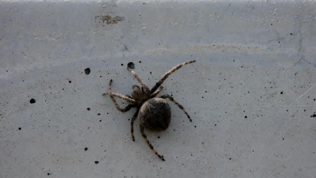Shot of A Spider(Neoscona nautica) spinning a web on concrete wall
