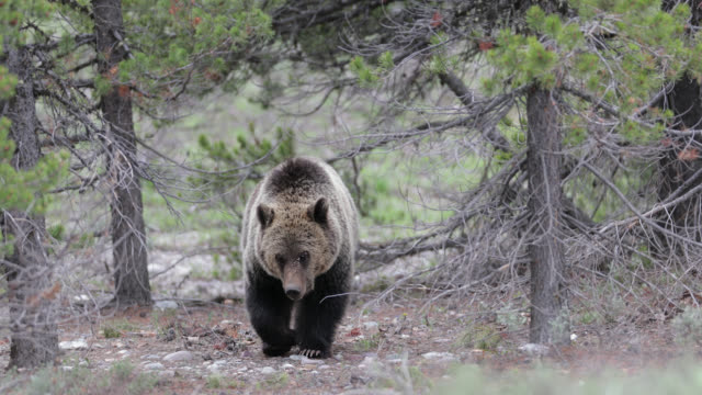 ms  4k  shot of a subadult grizzly (ursus arctos) walking toward the camera with porcupine quills in it's face - wyoming stock videos & royalty-free footage